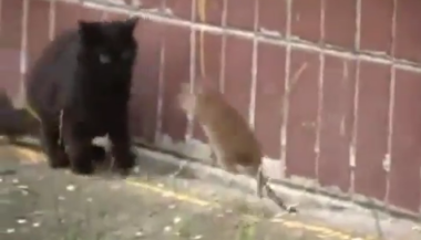 rat_attacks_cats.png