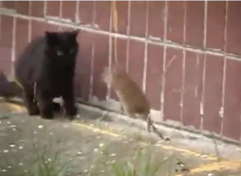 rat_attacks_cats