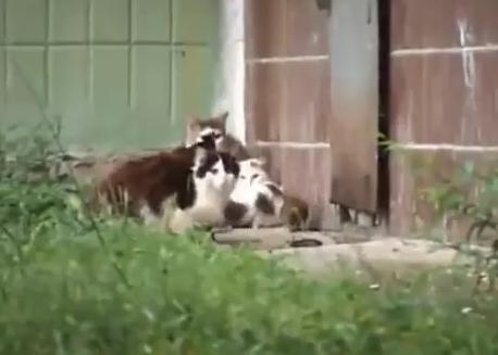 rat_attacks_cats2